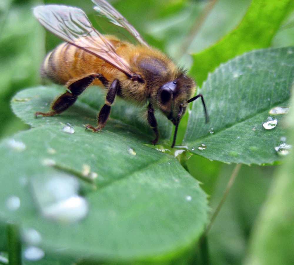 L' abeille et le miellat