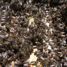 Vente essaims abeilles