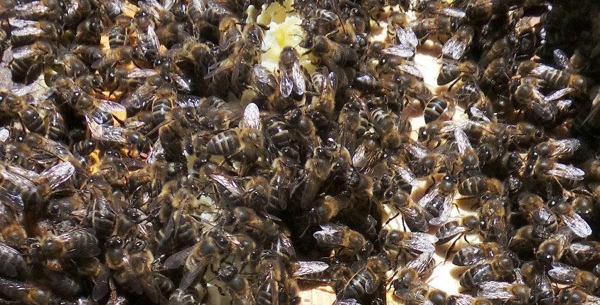 acheter essaims abeilles noires l'apikulteur