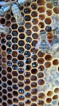 vente essaim abeilles noires france