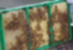 L'aiKulteur dans LaSomme essaims abeilles noires