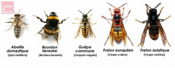 Frelon asiatique contre l'abeille L'apiKulteur