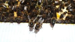 achat essaim abeilles sud ouest