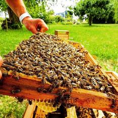 Vente essaim abeilles noires