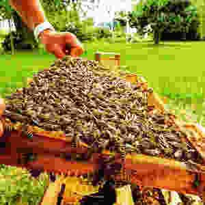 Les abeilles noires dans la ruche