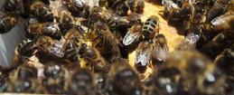 achat essaim abeilles landes pays basque
