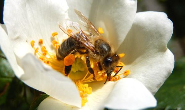 Le pollen nourriture des abeilles noires