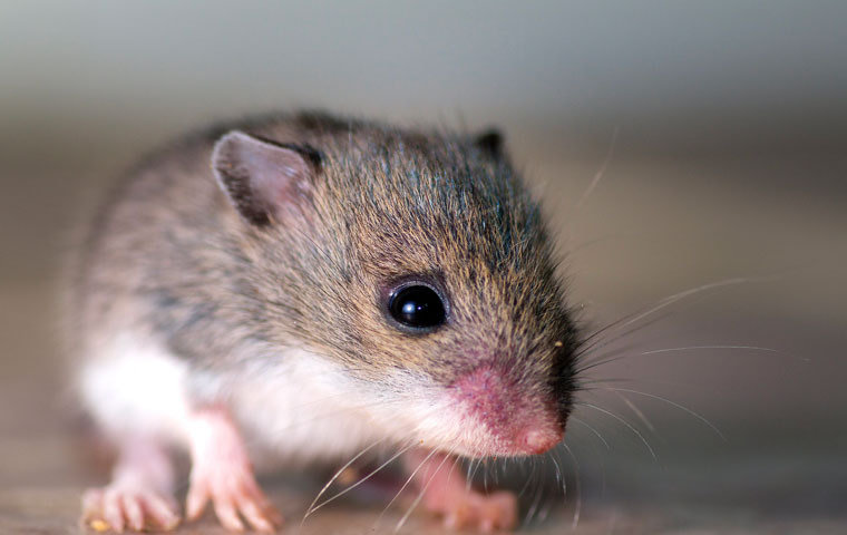 Texas Pest Control for Rodents