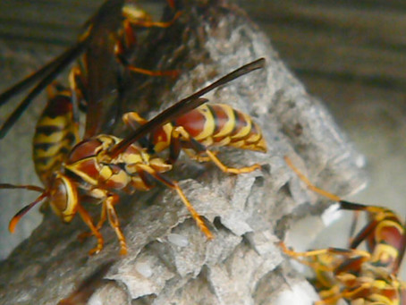 Texas Wasps