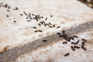 Texas pest control for ants