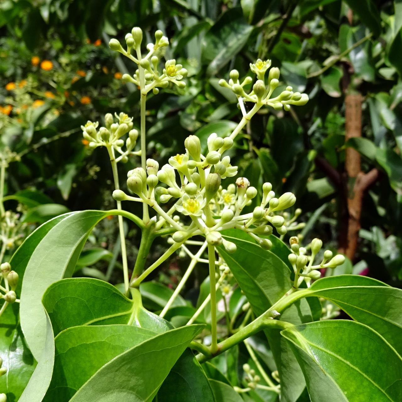 indian-bay-leaf-1707520