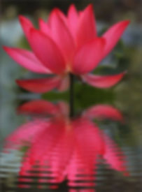 red lotus in particular represents compa