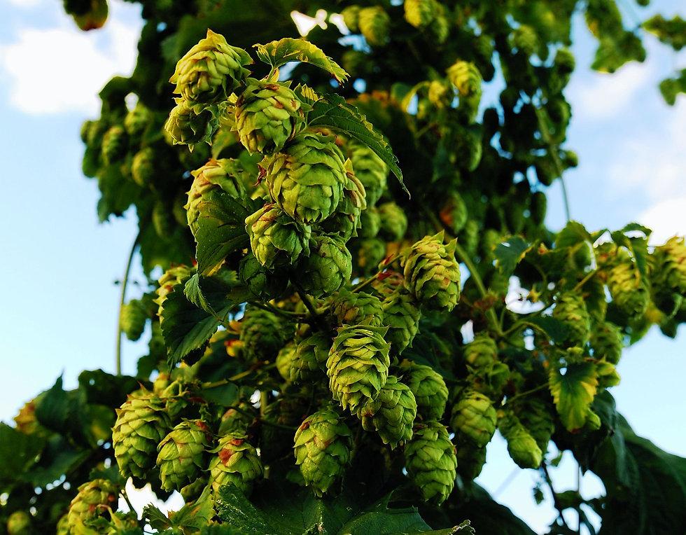 hops-1683884_1920.jpg