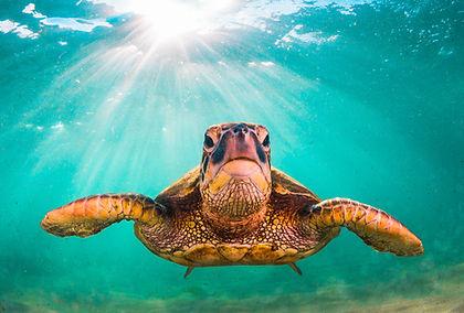 Hawaiian Green Sea Turtle cruising in th
