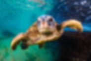 Hawaiian Green Sea Turtle cruising in th