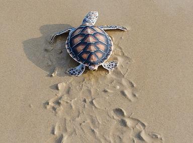 Green sea turtle walk to the ocean , Pha