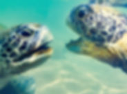 Turtles underwater at Hikkaduwa beach. S