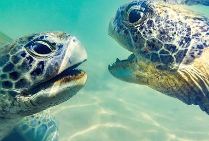 Turtles underwater at Hikkaduwa beach. S