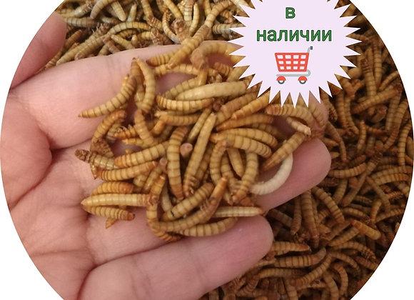 Мучной червь, корм для ежей, питомник ежей, купить мучного червя, питание ежей