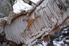 Birch Tree_Bark.jpg