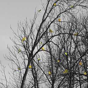 oiseaux+jauneshtml.jpg
