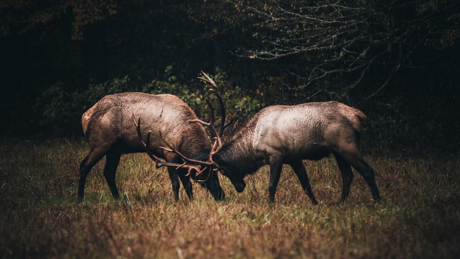 Elk Rut