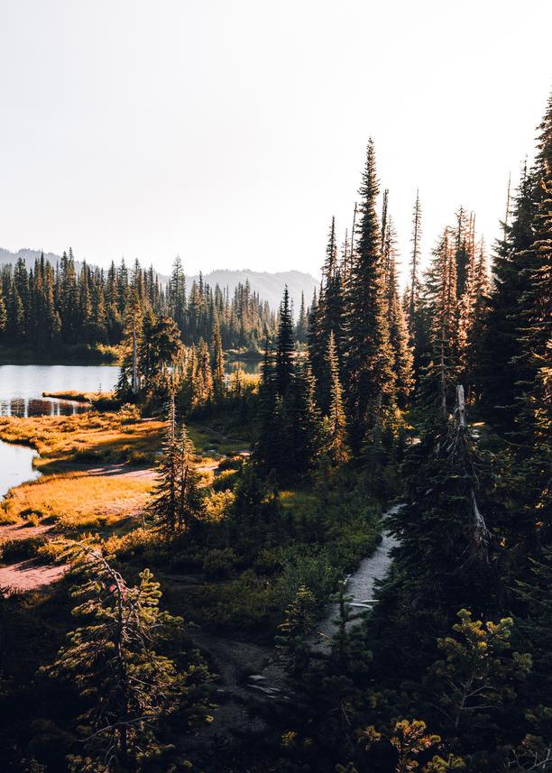 Evergreen Forest Sunlight