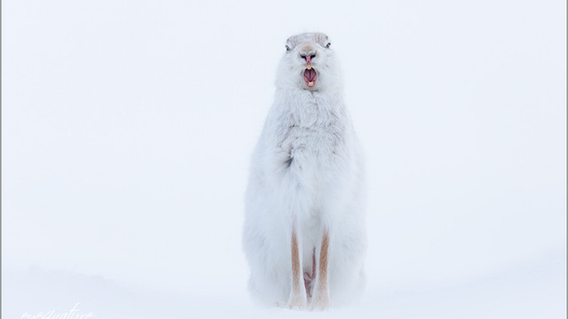 Mountain Hare in the Scottish Highlands
