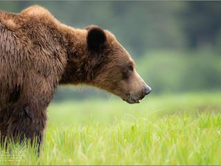 The Rainforest Grizzlies of Khutzeymateen Brittish Columbia