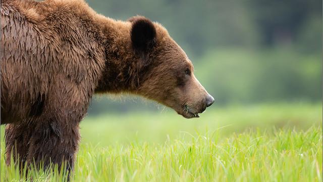 The Bears of Khutzeymateen Rainforest