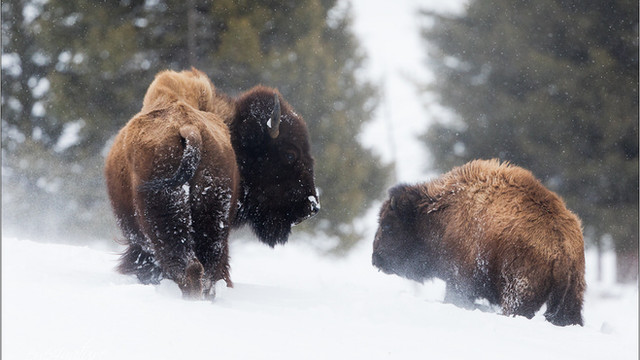 Yellowstone in Winter ...