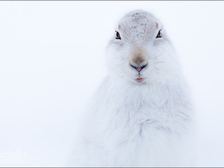 Mountain Hares in the Scottich Highlands