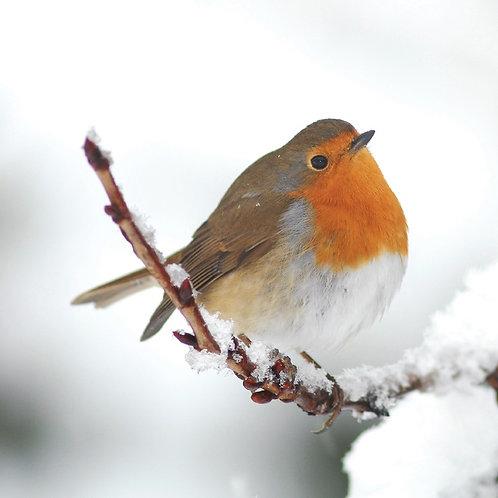 FH01 Winter Robin