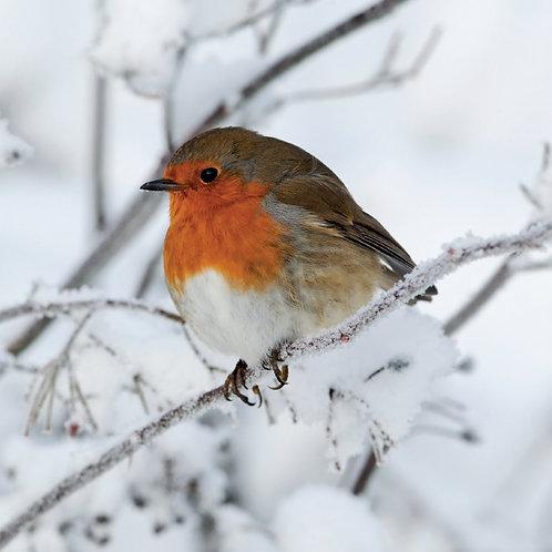 CL01 Snowy Robin