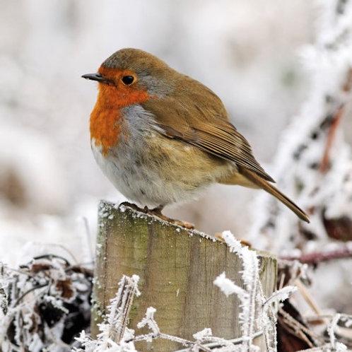GW04 Winter Robin