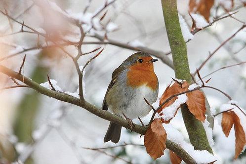SR06 Winter Robin