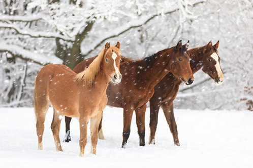 SR07 Horses in Snow