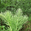 Thumbnail: Horsetail Tincture