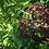 Thumbnail: Elderberry Glycerite