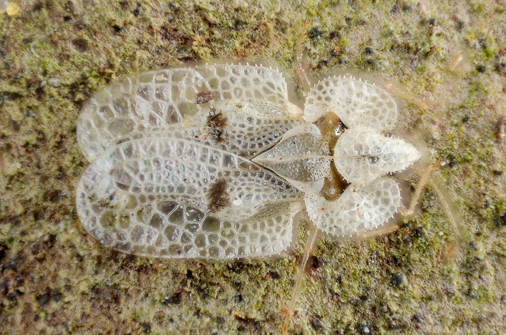 Sycamore_Lace_Bug_(5437596708).jpg