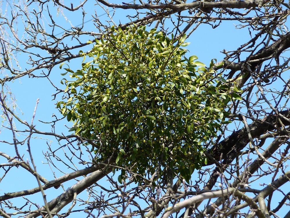 Viscum_album_apple-tree_2009_G1.jpg