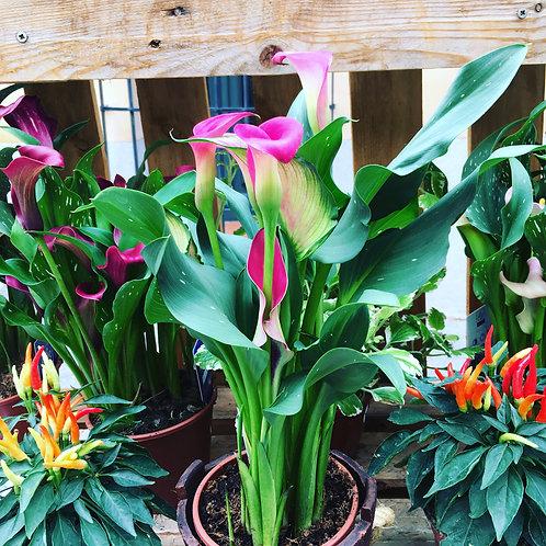 Planta de calas de colores