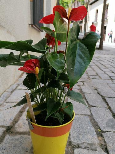 Planta Anturium con macetero