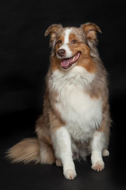 Portrait of a Collie