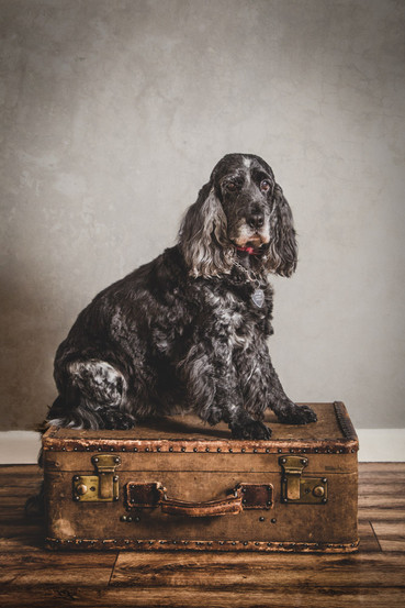 Spaniel on a suitcase