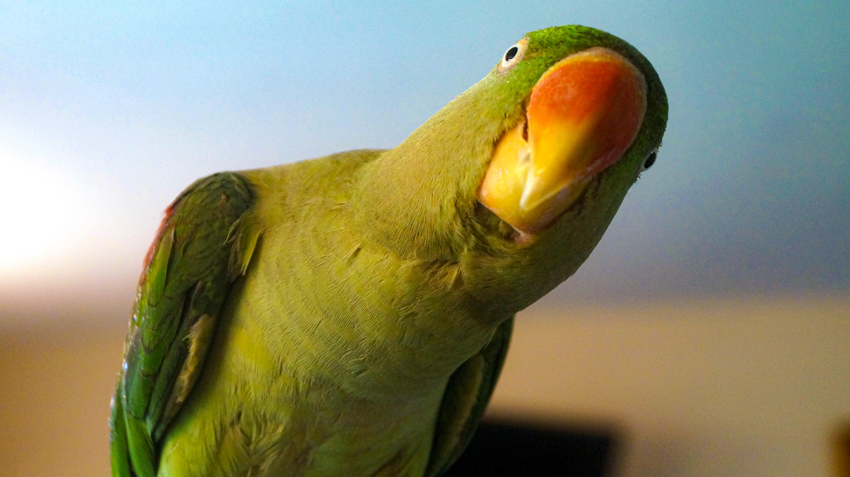 Parrot 2-2