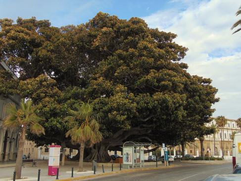 Árbol del Mora