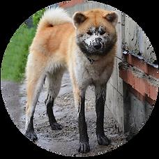 акита грязная собака
