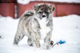 Маленький но тигр)