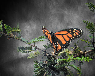 Monarch-Ready to Fly by Robert Richardson